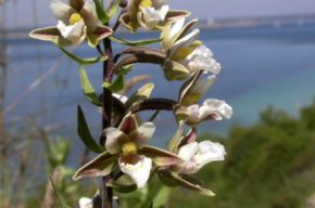 Epipactis_palustris